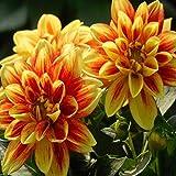 Maceta para Plantas de jardín/Interiores,Semillas de Flores Balcones,Gran Vida, balcón jardín Flor-Di_200 Grano