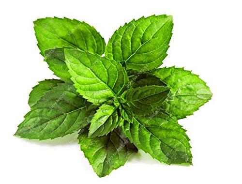 150pcs / sac exotiques Menthe Graines d'intérieur comestible menthe verte bio légumes Bonsai pot herbes médicinales menthe poivrée plantes pour jardin