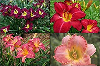 FERNSFLY™ IMP. Daylily | Hemerocallis | Daylilies | Day Lily Excellent Quality Flower Bulbs Aromatic Flower Plant Home Out...