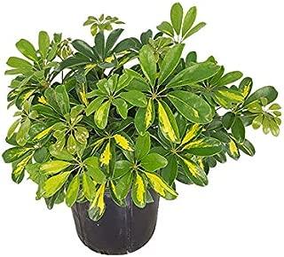PlantVine Schefflera arboricola 'Gold Capella', Umbrella Tree - Large - 8-10 Inch Pot (3 Gallon), Live Indoor Plant