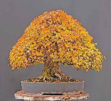 ASTONISH Erstaunen SEEDS: mix: Baumsamen 50 Samen Bonsai-Baum japanische Samen Balkonpflanzen für Hausgarten