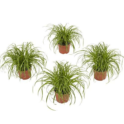 4er-Set Indoor-Helden Cyperus alt. 'Zumula' - Katzengras, Topf-Ø: 12 cm, Höhe: 23 cm, Zyperngras Zimmerpflanze