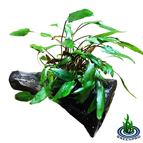 Greenpro Cryptocoryne Green on Driftwood for Freshwater Aquarium Plants Decorations Easy to Put in Your Fish Tank