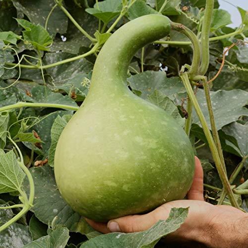 15 Samen Flaschenkürbis Kalebasse – Bio Saatgut von Culinaris