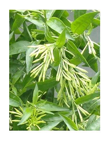 NIGHT BLOOMING JASMINE-Flowering Fragrant Cestrum nocturnum Jessamine-3 PLANTS!