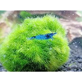 Topbilliger Tiere Blue Dream - Velvet Garnele - 10x - Neocaridina davidi