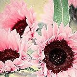 Yiifunglong Iris Tectorum Rose Sonnenblume Cobaea Scandens Samen, 50 Stück Rosa Sonnenblumenkerne...