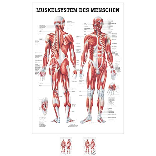 Sport-Tec Muskelsystem Mini-Poster Anatomie 34x24 cm medizinische Lehrmittel