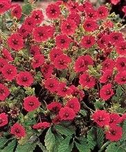 Potentilla (Cinquefoil) atrosanguinea Gibsons Scarlet 1,000 seeds