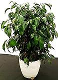 ficus benjamin verde daniel in vaso ceramica bianco rigato, pianta vera