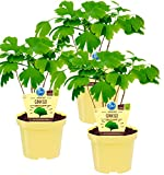 Bio Ginkgo, (Ginkgo biloba), bekannte Heilpflanze die als Tee zubereitet die Konzentration steigert, Pflanzen aus nachhaltigem Anbau