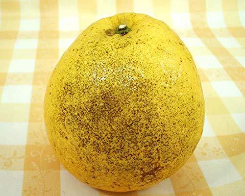 訳あり 木成り河内晩柑(ジューシーオレンジ) 約5kg