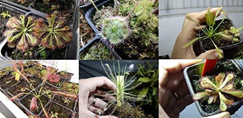 Drosera graines bonsaï fleurs graines de vente Big Hot vente de jardin de la maison DIY