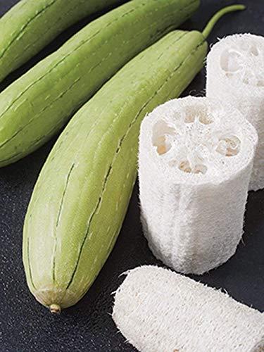Gourd Luffa Samen, Luffa Kürbis Schwamm Samen, 25 Samen, Bio, Nicht ohne Gentechnik, wachsen Y