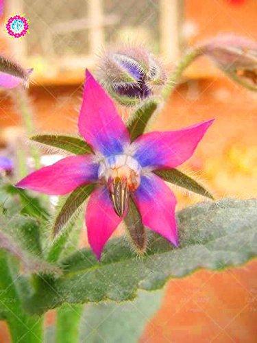 20PCS Rare Bleu bourrache semences Bonsai Fleurs Graines Légumes et cuisine Assaisonnement plantes comestibles Graines de vanille plantes vivaces 2