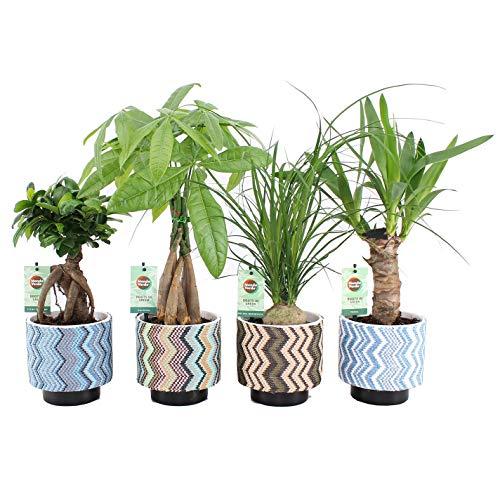 Zimmerpflanzen von Botanicly – 4 × Pflanzen Mix tropisch in mehrfarbigen Übertopfen als Set – Höhe: 35 cm – Ficus GinSeng, Beaucarnea, Pachira, Yucca