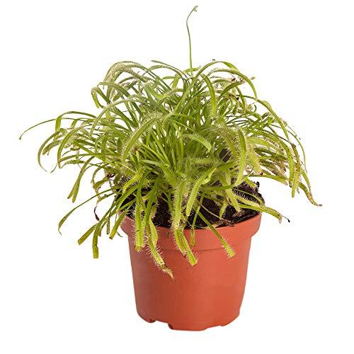 Drosera capensis | Kap-Sonnentau | Fleischfressende Pflanze | Höhe 15-20cm | Topf-Ø 8,5cm