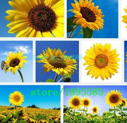 Belles graines de tournesol, environ 50 particules graines de fleurs livraison gratuite graines de bonsaï maison jardin