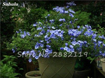 Belle Bonsai Blanc Saxifraga « Neige de printemps » Graines de fleurs vivaces De jardin les plus populaires Nature Plantes à effet de serre 120 Pcs 14