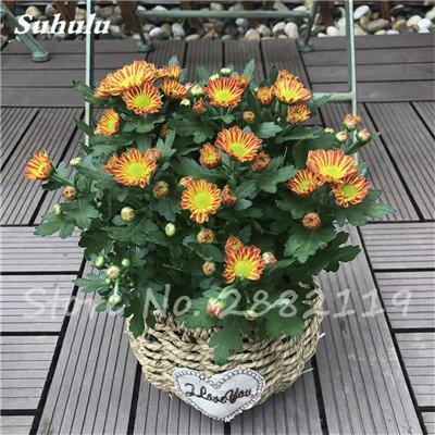 120 pcs graines graines de fleurs Daisy strawberry marguerite, fleurs de saison graines chrysanthème, Bonasi beau balcon fleuri coloré 2