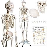 Modèle Anatomique du Squelette Humain - 181,5 cm, Grandeur Nature, sur Roulettes, Graphique d'Enseignement, Crâne Ouvrant - Squelette Anatomique, Modèle Médical Humain