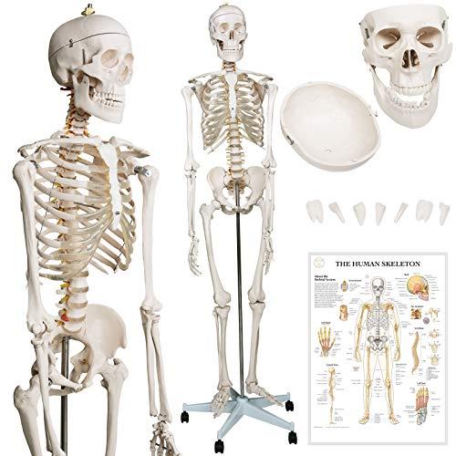 Jago® Modello di Scheletro Umano - 181,5 cm, Grandezza Naturale, Include Poster Grafico, Supporto con Ruote, Copertina Antipolvere, Dimensioni Reali - Scheletro Anatomico, Elementary Anatomy