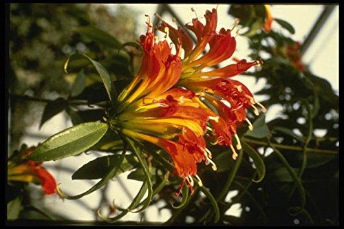 124012 Aeschynanthus Speciosus (Lipstick Plant) A4 Photo Poster Print 10x8
