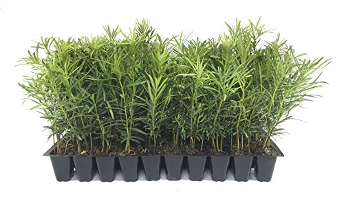 Podocarpus Macrophyllus Japanese Yew - 50 Live Plants 2' Pots - Evergreen Privacy Hedge