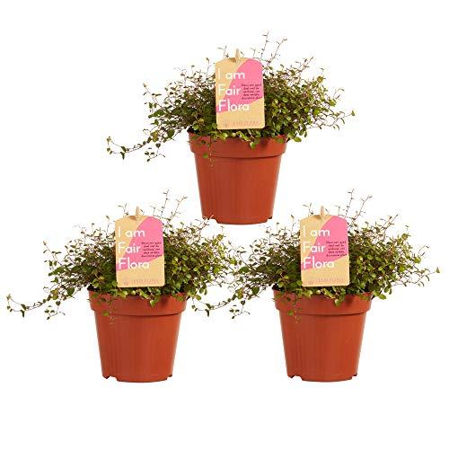Choice of Green - Lot de 3 Muehlenbeckia Principal autre mots - Plante d'intérieur dans un pot de croissance ? 12 cm - Hauteur 20 cm - Qualité hollandaise - Frais du cultivateur