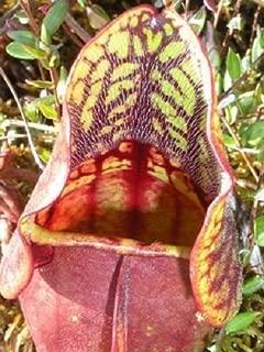 Best purple pitcher plant for sale Reviews