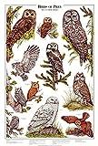 Owls of North America Poster and Identification Chart Vol 2 - Artist: Karen Pidgeon