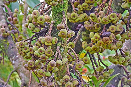PLAT FIRM Germinación de Las Semillas: 10 Semillas Oreja de Elefante Higuera Tropical Gran Recipiente para Plantas Liquidaciones Precio