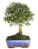 Bonsai - Olmo chino, 5 Años (Bonsai Sei - Zelkova