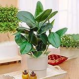 1 Ficus Robusta   Plante à feuilles persistantes en pot 30-40 cm pour la Maison ou le Bureau