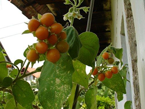 Zwerg-Tamarillo,Cyphomandra abutiloides, reich an Vitamin C, 20 Samen, von unserer ungarischen Farm samenfest, nur natürliche Dünger, KEINE Pesztizide, BIO hu-öko-01