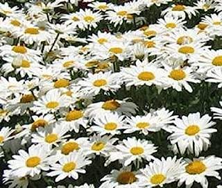 4,000 Dwarf Shasta Daisy Chrysanthemum Flower Seed Garden Home TkLucky72