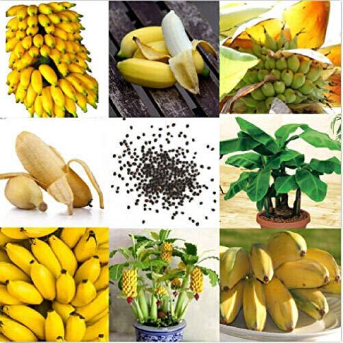100pcs Dwarf Banana Seeds Bonsai Tree Tropical Fruit Seeds