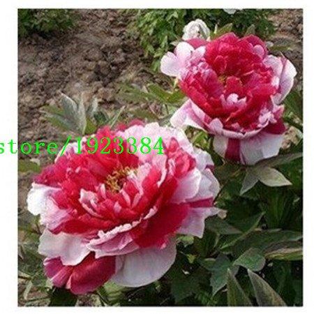 Promotion !! 10pcs / lot Couleurs mixtes Dahlias Graines de pivoine chinoise semences graines de fleurs pour le bricolage jardin Pots de fleurs jardinières sh gratuit