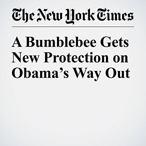A Bumblebee Gets New Protection on Obama's Way Out copertina