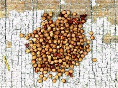 125 Semillas de sorgo Menonita - Sorghum bicolor
