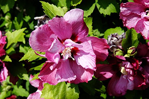 Hibiskus rosa Blüte Garteneibisch Duc de Brabant Hibiscus Duc de Brabant Containerware 60-100 cm hoch