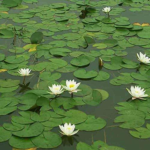 Plantas hidropónicas, semillas de nenúfar, semillas de flores-Semillas de nenúfares 300 cápsulas