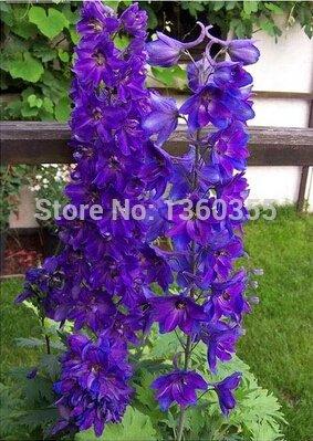 Mélanger Graines Woodruff aromatiques petites graines de fleurs, pourpre voiture feuille d'herbe, environ 50 particules