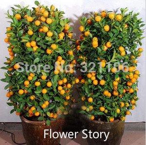 20 Mini Potted Edible drawf Orange Bonsai Seeds-- Fruit,Tangerine Citrus Easy -growing