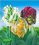 BALDUR-Garten Papageien-Tulpen-Sortiment, 24 Zwiebeln Papagei Tulpen Set
