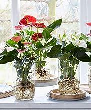 Anthurium andreanum | Flamingoplant roze | Incl. glazen vaas | hoogte 40-45cm | Pot - Ø12cm