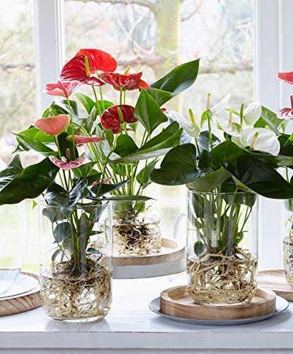 Anthurium andreanum | Weiße Flamingoblume inkl. Glasvase gross | Pflanzen im Glas | Höhe 40-45 cm | Glas-Ø 13x21 cm