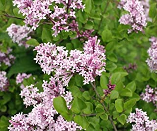 Bareroot Palibin Korean Lilac (Syringa) Quart Pot Deliveries to CA, OR, WA, AZ, UT, ID, NV, MT, ND, SD Will Be Shipped Bareroot Get 1#NLN01YN