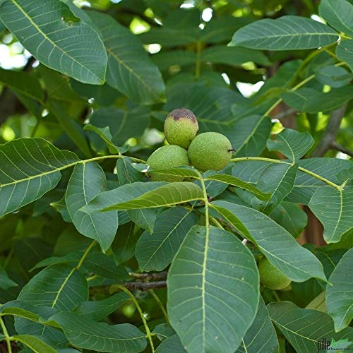 Walnuss Baum winterhart Juglans regia Sämling Obstbaum Walnussbaum 60-80 cm im Topf
