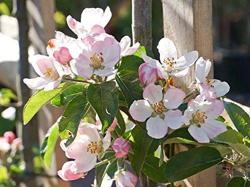 Apfelbaum Goldparmäne - Malus Goldparmäne Containerware 120-160 cm - Garten von Ehren®